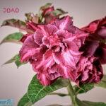 dsc04926 1 Мои цветы