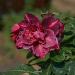 dsc06503 1 Мои цветы
