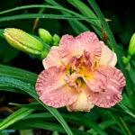 dsc03850 Мои цветы