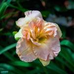 dsc04139 Мои цветы