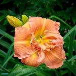 dsc04331 Мои цветы