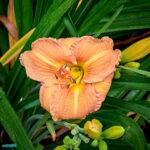 dsc04333 Мои цветы