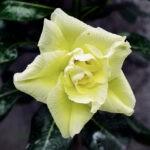 dsc04785 Мои цветы