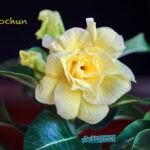 dsc04983 Мои цветы