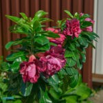 dsc06504 Мои цветы