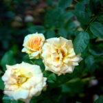 dsc06605 Мои цветы
