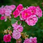 dsc06606 Мои цветы