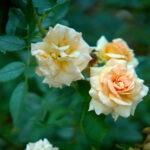 dsc06607 Мои цветы