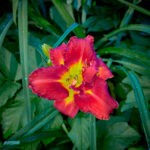 dsc06731 Мои цветы