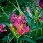 dsc06732 Мои цветы