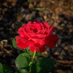 dsc06740 Мои цветы