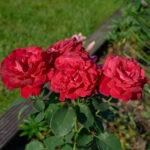dsc06741 Мои цветы