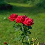 dsc06744 Мои цветы